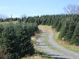 Christmas Tree Hill Shops York Pa by Where To Choose And Cut Your Own Christmas Tree Near Charlotte Nc