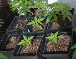 recolte cannabis exterieur date récolter du cannabis de juin à novembre sur balcon du
