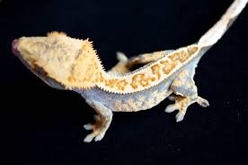Halloween Harlequin Crested Gecko For Sale by Love Upper Crest Geckos U0027 Crested Geckos Https Www Facebook Com