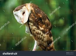 Tyto Alba Barn Owl Stock Photo 27980678 - Shutterstock Amazing Barn Owl Nocturnal Facts About Wild Animals Barn Owl By David Cooke For Sale The Sculpture Parkcom Rhodium Comes To Canada With Its Striking New Nocturnal Nature Flying Wallpapersbirds Unique Hd Wallpapers Owls In Kuala Lumpur Bird Park Stock Photo Image 87325150 Biocontrol View Common In Malaysia Sekinchan Paddy Field Youtube Another Blog Farmers Friend Bear With Him Girl Mom Birds Of World Owls