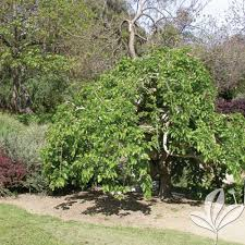 Weeping Mulberry Texas Pecan Nursery
