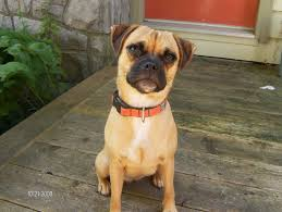 Do Pugs And Puggles Shed by Jug Dog Jack Russell Terrier Pug Mix Info Temperament Pet Care