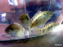 Tilapia Fingerlings For Sale Picture Of Blue Philippines