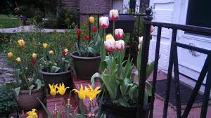 last of the container tulips and a new planting gardeninacity