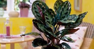 calathea roseopicta tipps zur pflege mein schöner garten