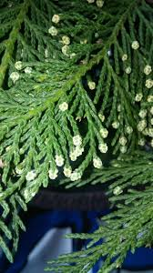 Leyland Cypress Christmas Tree Growers by Leland Cypress Needle Drop North Carolina Cooperative Extension