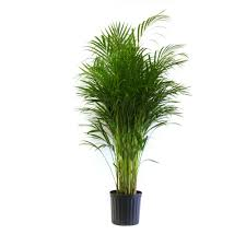 golden palm in pots delray plants 9 1 4 in areca palm in pot 10areca the home depot