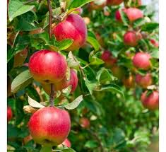 Apple Help Desk India by Buy Apple Online At Cheap Price India U0027s Biggest Plants And Seeds