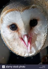 Schleiereule, Tyto Alba, Barn Owl, Screech Owl, Tytonidae Stock ... White Screech Owl Illustration Lachina Bbc Two Autumnwatch Sleepy Barn Owl Yoga Bird Feeder Feast And Barn Wikipedia Attractions In Cornwall Sanctuary Wishart Studios Red Eastern By Ryangallagherart On Deviantart Owlingcom Biology Birding Buddies 2000 Best 2 Especially Images Pinterest Screeching Youtube