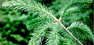 Balsam Christmas Tree Care by A Guide To Christmas Tree Type Selection Care And Cleanup