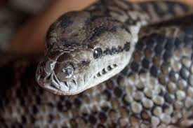 Coastal Carpet Python Facts by Morelia Spilota Metcalfei Wikipedia