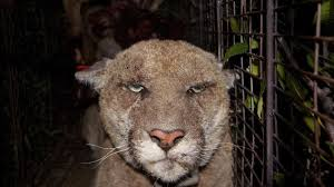 LA Mountain Lion A Poster Cat For Californias Rat Poison Problem NPR