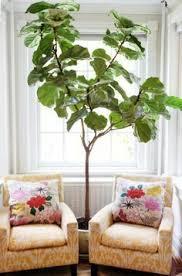 eine pflanze als dekoration geigen feige für eine belebte