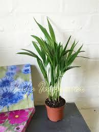 golden palm in pots 1 x areca palm plant in pot indoor garden office evergreen