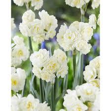 daffodil white flower bulbs garden plants flowers the