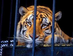 The Tragic Tale Of Tony The Truck-Stop Tiger | Alternet