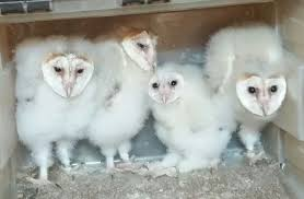 Baby Barn Owls For Sale | Dagenham, Essex | Pets4Homes Barn Owl Focus On Cservation Best 25 Baby Ideas On Pinterest Beautiful Owls Barn Steal The Show As Day Turns To Night At Heartwood Family Ties Owl Chicks Let Their Hungry Siblings Eat First The Perch Uncommon Banchi Baby Coastal Home Giftware From Horizon Stock Image Image Of Small Young Looking 3249391 You Know Birdnote Banding By Alex Lamoreaux Nemesis Bird