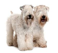 109 best wheatens images on pinterest terriers beautiful dogs