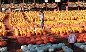 Pumpkin Farms In South Georgia by Pump Up The Family Fun With Pumpkin Picking In North Georgia