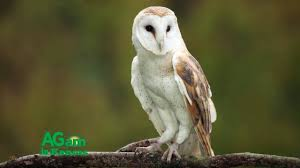Around Kansas - Owls Of Kansas - August 3, 2016 - YouTube Barn Owl Eating Mouse Sussex Uk Tyto Alba Stock Photo Royalty Bird Of The Month Owl Barn A Free Image 51931121 How To Attract Owls Your Yard 1134 Best Birdsstrigiformesowls Images On Pinterest Wikipedia Facts Pictures Diet Breeding Habitat Behaviour Eating Picture And 1861 Owls Snowy Saw Whets Chick Raptor Conservancy Virginia Baby And Animal