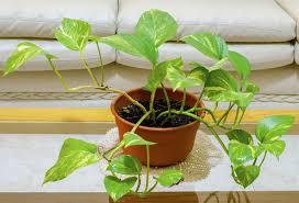 efeutute epipremnum aureum pflanzen pflegen und