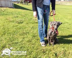 Collars And Slip Leads | Owyheestar Weimaraner's News Akc Reunite Home Facebook Npr Shop Promo Code Free Shipping Sheboygan Sun 613 Pages 1 32 Text Version Fliphtml5 Uldaseethatiktk Urlscanio Pet Microchip Scanner Universal Handheld Animal Chip Reader Portable Rfid Supports For Iso 411785 Fdxb And Id64 Chewycom Coupon Codes Door Heat Stopper Giant Bicycles Com Fitness Zone Bred With Heart Faqs Owyheestar Weimaraners News Pizza Hut Big Dinner Box Enterprise 20 Aaa