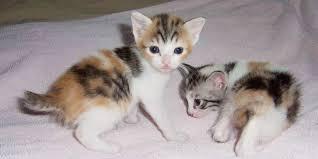 bobtail cat japanese bobtail information characteristics facts names
