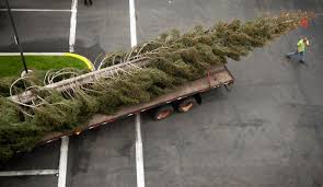 A 96 Foot White Fir Christmas Tree From Mount Shasta Is Readied For Installation At South Coast Plazas Town Center Park In Costa Mesa On Tuesday