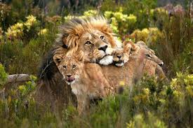 Wildlife Lions Safari Lodge Accommodation