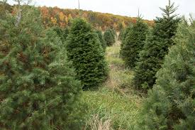 Christmas Trees Types by The Hober Tree Farm