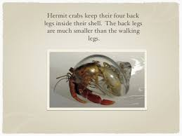 Do Hermit Crabs Shed Legs by Hermit Crabs