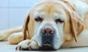 Small Non Shedding Dogs For Seniors by Caring For An Old Labrador