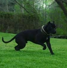 My Cane Corso Shedding A Lot by Black Cane Corso Animals Pinterest Black Cane Corso Dog And