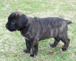 My Cane Corso Shedding A Lot by Cane Corso Italian Mastiff Breed Information U0026 Pictures