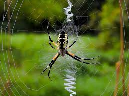 The 5 Best Spider Repellents + Reviews & Ratings! (Dec, 2017) R2rustys Chatter September 2017 Ladybugs Backyard And Beyond Birdingand Nature Golden Silk Orb Weaver Spider In Bug Eric Sunday Black Yellow Argiope Glass Beetle By Falk Bauer A Backyard Naturalistinsects Ghost Spiders Family Anyphnidae Spidersrule C2c_wiki_silvgarnspider_hrw8q0m1465244105jpg Aurantia Wikipedia Two Views Sonoran Images Elephant Tiger Skin Spiny Blackandyellow Garden Mdc Discover Power Animal For October Shaman Amy Katz