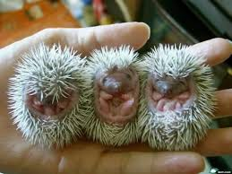 how to hand feed baby hedgehogs hedgehogs as pets