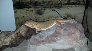 Crested Gecko Shedding Behavior by Not Very Mad Max The Road Warrior U2022 Bearded Dragon Org