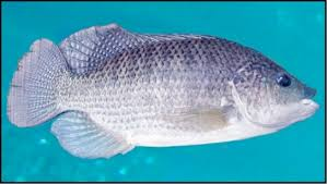 500 Hawaiian Gold Tilapia 910