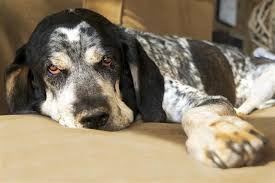 Do Bluetick Coonhounds Shed by Types Of Hunting Dogs