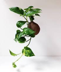 lasst uns die pflanzen an die decke hängen hausjungle