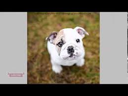 No Shed Small Dogs by Small Dog Breeds Non Shedding Just Paws Pets