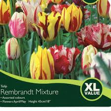 bulbs tulip rembrandt mixture bulbs for sale mail order