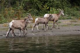 Snake River Idaho Big Horn Sheep On The Beach Travel In Excellent Company