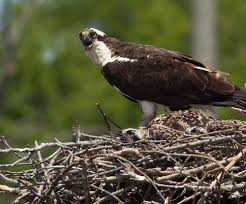 A Tough Year For Chesapeake Osprey