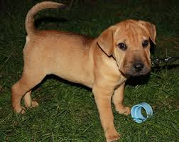 Do Mini Shar Peis Shed by Sharp Eagle Shar Pei X Beagle Mix Info Temperament Puppies