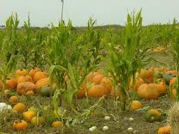 Pick Of The Patch Pumpkins Santa Clara by Rodoni Farms Pumpkin Patch And Corn Maze California Haunted Houses