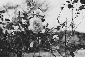 Black And White Flowers Background Tumblrblack Flower Tumblr Yhbfkmtx Trending ImageTrending Image