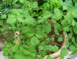 curridiculum Salad Burnet