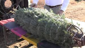 Fraser Christmas Tree Farm by Live Fraser Fir Christmas Trees The Process From The Farm To