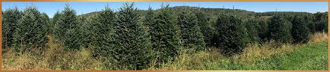 Fraser Fir Christmas Trees Delivered by Mail Order Christmas Trees U0026 Wreaths Fraser Fir Christmas Trees